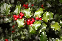 Blue Princess Holly bush - Ilex pron : /'alks/, or holly,is a genus of 400 to 600 species of flowering plants in the family Aquifoliaceae, and the onl...