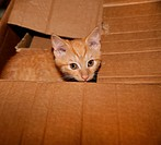 Ginger Kitten Sitting In Cardboard Box