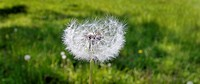 Dandelion seed head in an English meadow