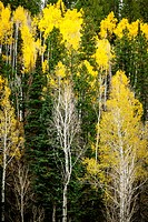 Aspens and evergreens, North Rim, Grand Canyon