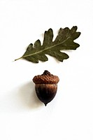 acorn and oak leaf on white surface