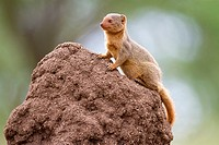 Common Dwarf Mongoose Helogale parvula on termite mound, Serengeti National Park, Tanzania