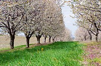 Spring time orchard of cherry trees in Michigan, USA