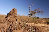 Builds chimneys, Common termites, Chobe National Park, Botswana, Africa