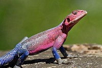 male Flat-headed Rock Agama Agama mwanzae on rock, Serengeti National Park, Tanzania
