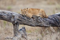 young Lion Panthera leo lying on tree, Serengeti National Park, Tanzania