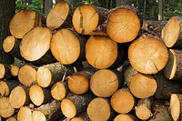 Stack Of Cut Pine Tree Logs In A Forest In Spring, Mauricie Quebec Canada