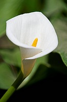 Close Up Of A Calla Lily, Arizona United States Of America
