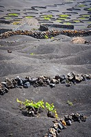 Vineyards In La Geria, Lanzarote Canary Islands Spain