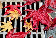 Colourful maple leaves cover a drain on a rainy day on the west coast, british columbia canada