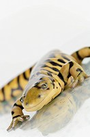 Tiger salamander on a white background, alberta canada