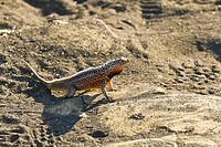 Male lava lizard Microlophus spp, Las Bachas, Santa Cruz Island, Galapagos Islands, Ecuador, South America