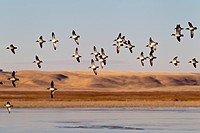 Green_winged Teal in_flight over southeastern Alberta.