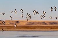 Green_winged Teal in_flight over southeastern Alberta.