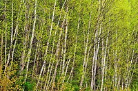 White birch Betula papyrifera grove with emerging spring foliage, Killarney, Ontario, Canada