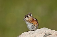 Colorado chipmunk Eutamias quadrivittatus eating, San Juan National Forest, Colorado, United States of America, North America