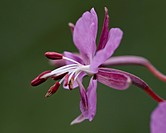 Fireweed Chamerion angustifolium, San Juan National Forest, Colorado, United States of America, North America