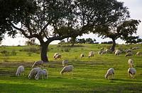 Sheep in iberian Dehesa, Quintana de la Serena, Badajoz-province, Spain,