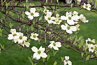 Spring, Dogwood Trees in Bloom