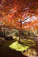 Autumn leaves, Saimyou_ji Temple, Takao, Kyoto, Japan