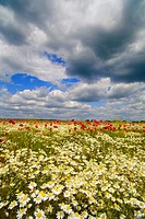 Wildflowers growing in field against dramatic sky
