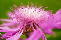 Close_up view of Brownray knapweed centaurea jacea, Bavaria, Germany