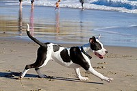 Terrier Running on Beach at Trinidad, California