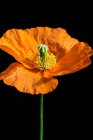 Papaver croceum, Papaver nudicaule, Poppy, Icelandic poppy, Orange subject, Black background