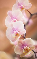 Phalaenopsis ´Nobby´s Amy´, Orchid, Moth orchid, Pink subject.