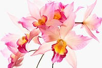 Jackfowlieara Appleblossom, Orchid, Jackfowlieara orchid, Pink subject, White background.