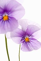 Viola cultivar, Viola, Purple subject, White background.