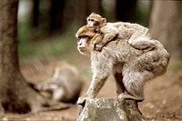 Barbary Ape Carrying Infant