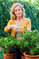 Woman cutting Crassula ovata.