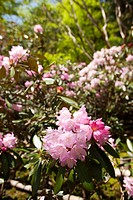 Bloom of Rhododendrom, Muro_ji temple, Nara Prefecture, Japan