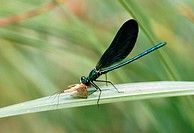 Beautiful demoiselle damselfly Calopteryx virgo with prey.