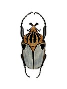 Goliath beetle. View of the upper side of a female goliath beetle Goliathus regius. Goliath beetles named after the biblical giant Goliath are among t...