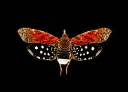 Lanternfly. View of the upper side of a Diareusa conspera lanternfly family Fulgoridae. This species is found in Bolivia and Brazil and has a wingspan...