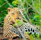Wild leopard portrait