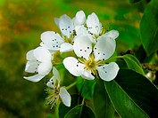 Kentish pear blossom