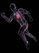Sprinter. Computer artwork of a printer with their cardiovascular system highlighted