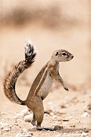 Portrait of a Ground Squirrel, Spermophilus, standing to attention in desert setting