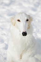 borzoi sight hound portrait set against pure white snow . jonkoping. sweden