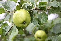 Fruit , green apple on tree with leaves