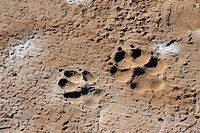 Pug marks of a adult Hyena and a cub ; Great rann of Kutch ; Gujarat ; India