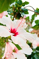 beautiful tropical white hibiscus Malvaceae flower in summer