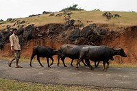 Man walking with buffalos herd at ganpatipule , district Ratnagiri , state Maharashtra , India