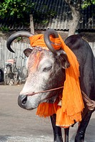 Close_up of holy cow wearing scarlet color turban , Agnitheertham shore , Rameswaram , Char Dham , Tamil Nadu , India