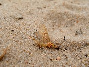 Mayfly sitting on sand