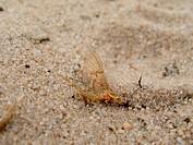 Mayfly sitting on sand
