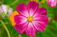 Single cosmos flower